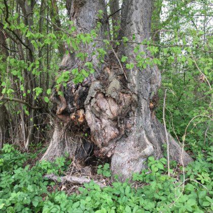 Baum im Riedholz