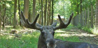 Elch im Wildpark Schweinfurt