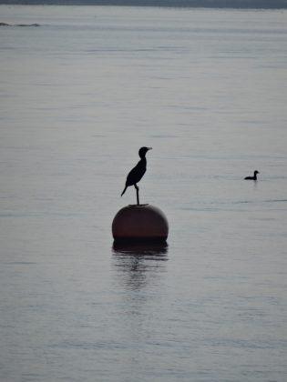 Reiher im Gardasee